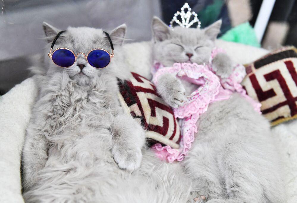 Brytyjskie koty na wystawie w Moskwie
