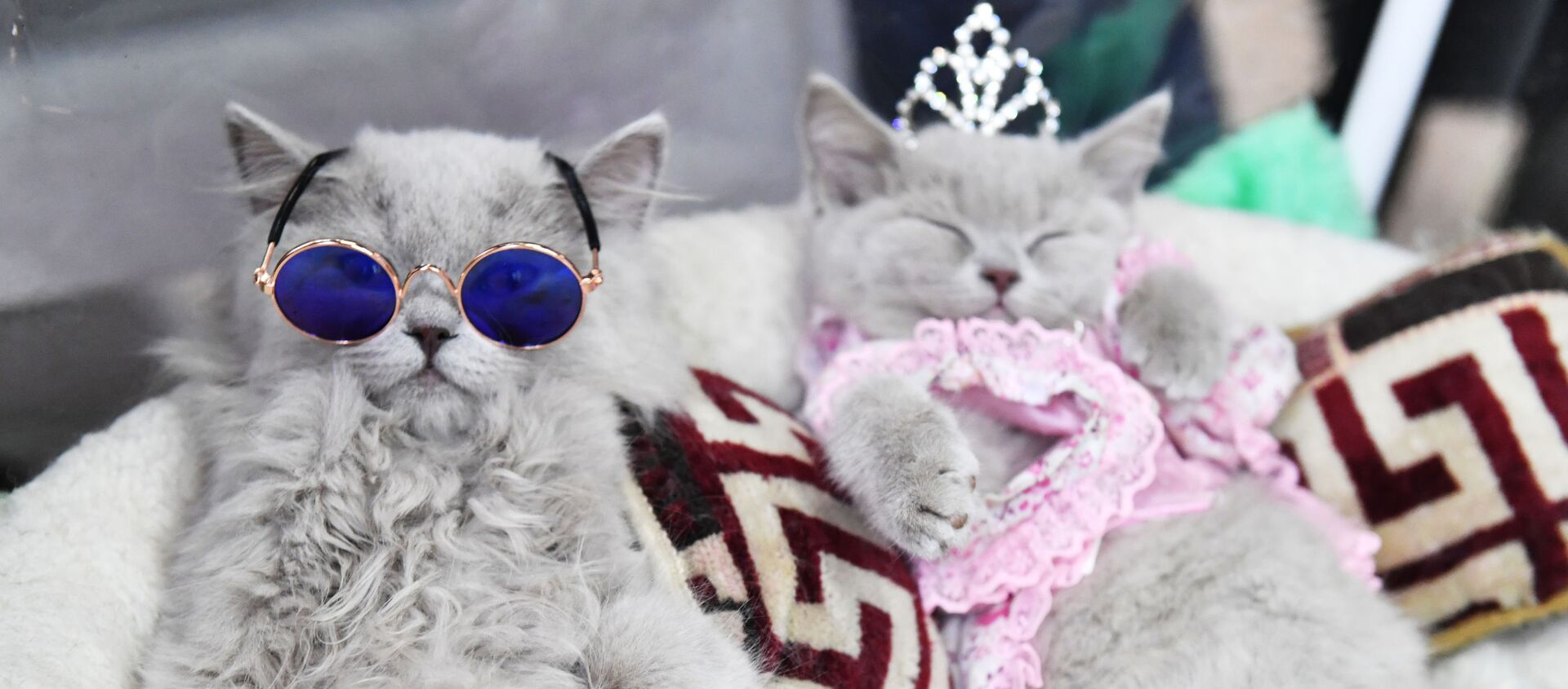 Brytyjskie koty na wystawie w Moskwie  - Sputnik Polska, 1920, 26.02.2021