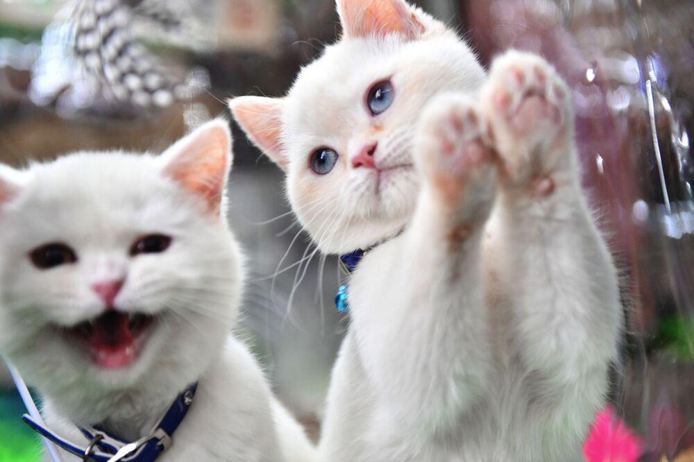 Brytyjskie kocięta na wystawie w Moskwie