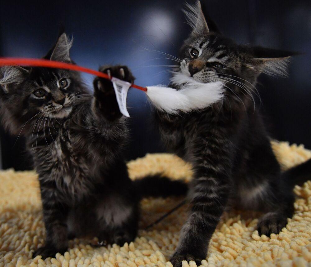 Kotki rasy maine Coon na wystawie w Moskwie