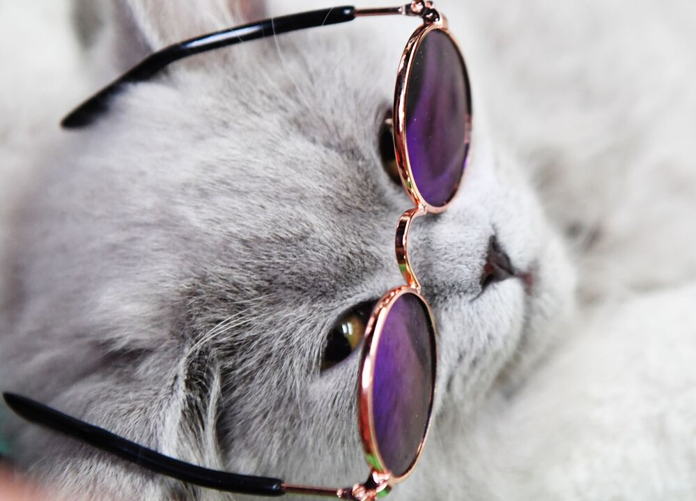 Kot brytyjski na wystawie kotów w Moskwie