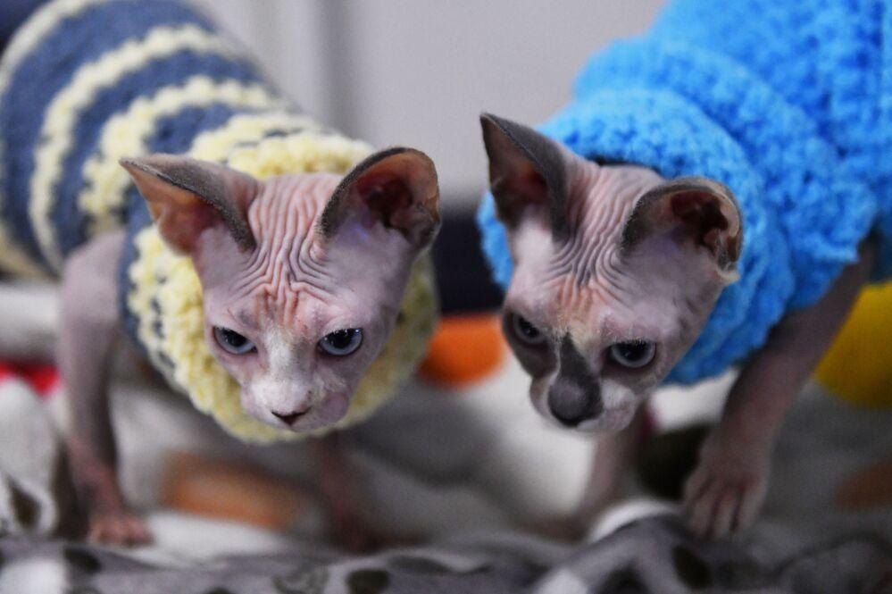 Kotki rasy Sfinks na wystawie w Moskwie