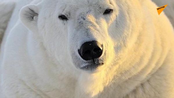 Międzynarodowy Dzień Niedźwiedzia Polarnego - Sputnik Polska
