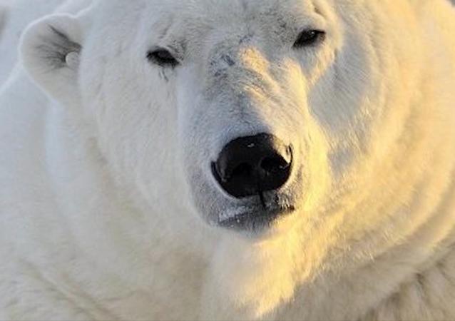 Międzynarodowy Dzień Niedźwiedzia Polarnego