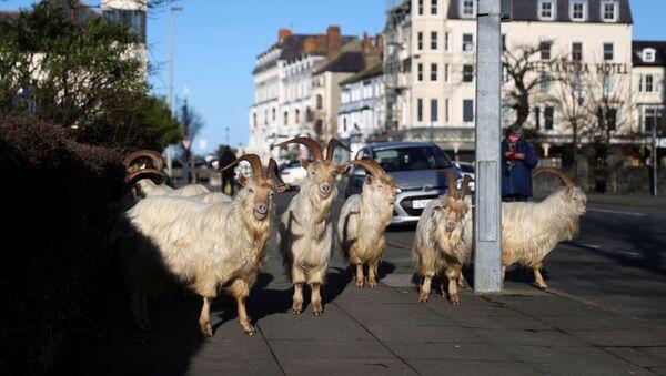 Kozy w opustoszałym mieście Llandudno w Walii - Sputnik Polska
