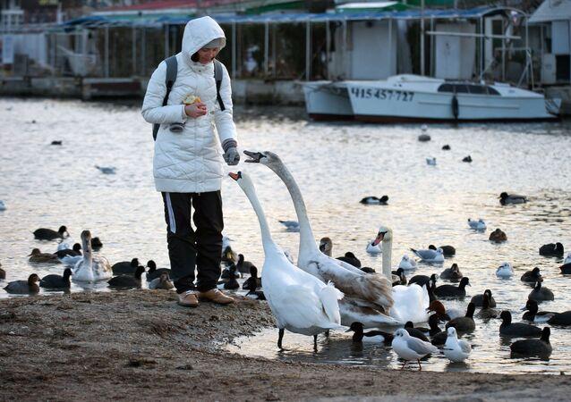 Kobieta karmi łabędzie w Sewastopolu