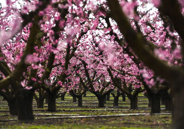 Kwitnienie brzoskwiń w hiszpańskiej gminie Aitona