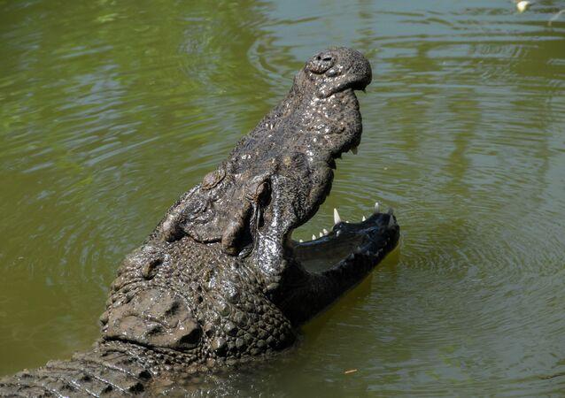 Krokodyl.