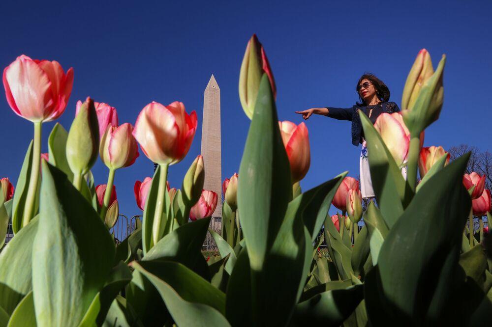 Tulipany w Waszyngtonie