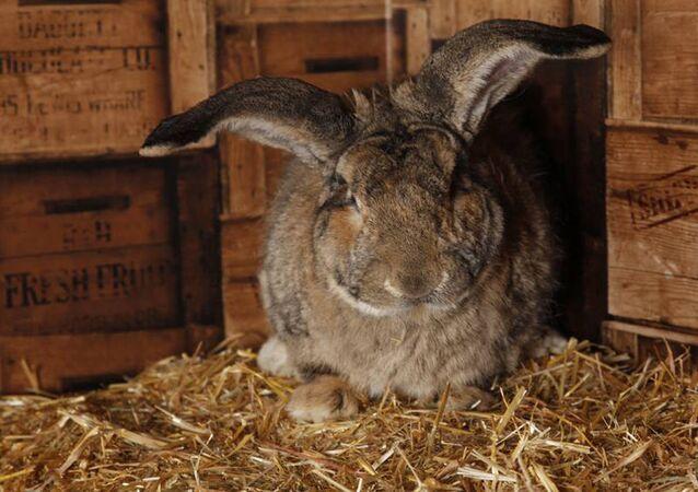 Największy królik na świecie o imieniu Darius.