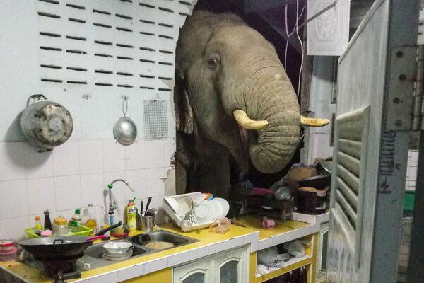 Tajlandia: Słoń wdarł się do kuchni, by ukraść torebkę ryżu. - Sputnik Polska