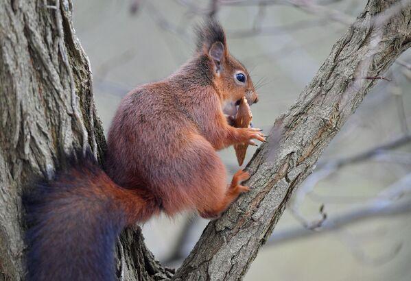 Czerwona wiewiórka gryzie ciastko w parku w Brukseli. - Sputnik Polska