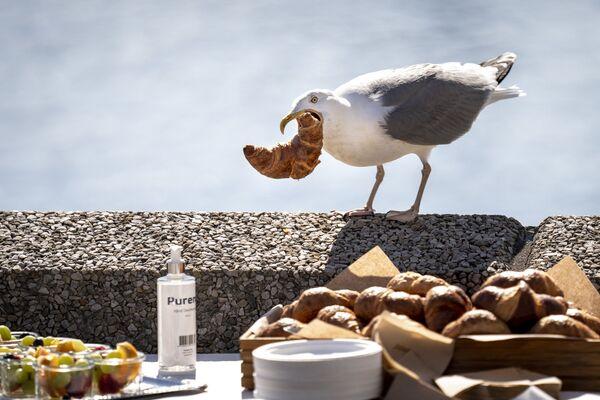 Francuskie śniadanie. Mewa z croissantem w dziubie w Kopenhadze. - Sputnik Polska