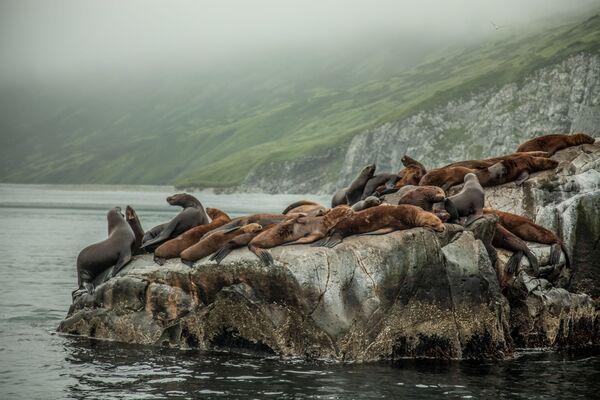 """""""Dzięki obfitości ryb, nie tylko foki wybierają to miejsce. Szczęśliwi rybacy potrzebują zaledwie dziesięciu sekund, aby zapewnić sobie obiad na tydzień"""" – mówi autor zdjęcia Stanislaw Starowoitow. Zdjęcie wykonane w okolicach Pietropawłowska. Obserwując zwierzęta w ich naturalnym środowisku i odwiedzając parki narodowe, turyści przyjeżdżają na Kamczatkę. Wśród miejsc wartych zobaczenia jest Park Przyrody Kluchevskoy z 13 wulkanami, otoczony wodospadami i gorącymi źródłami, Błękitne Jeziora, których woda ma kolor nieba, a także Kronocki Rezerwat Biosfer.  - Sputnik Polska"""