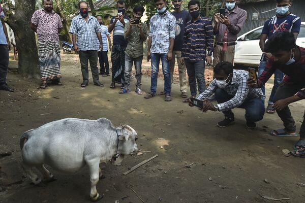 Aby zobaczyć malutką krowę, na fermę nieopodal Dhakki, stolicy Bangladeszu, przyjeżdżają dziesiątki tysięcy odwiedzających. - Sputnik Polska