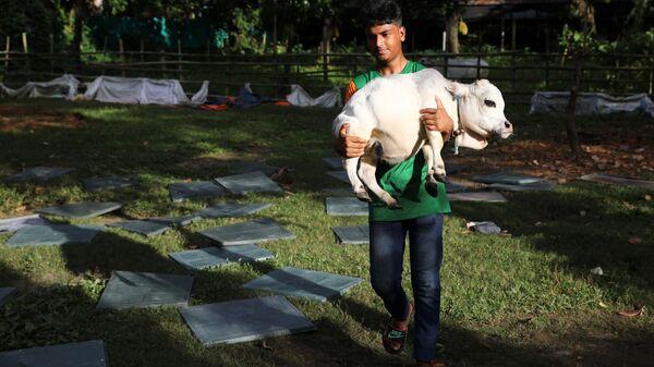 Мужчина несет карликовую корову по имени Рани на ферме, Бангладеш  - Sputnik Polska