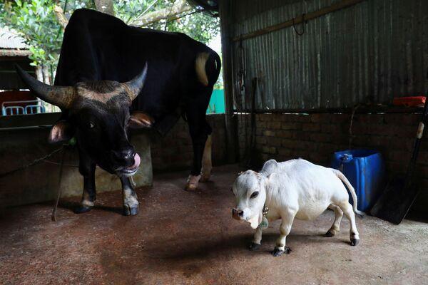 Rani boi się innych krów, dlatego trzymają ją oddzielnie od reszty stada. - Sputnik Polska