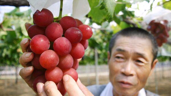 Виноград редкого сорта Ruby Roman в руках у японского фермера - Sputnik Polska
