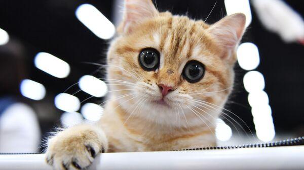 Кошка породы британская на выставке КоШарики Шоу  - Sputnik Polska