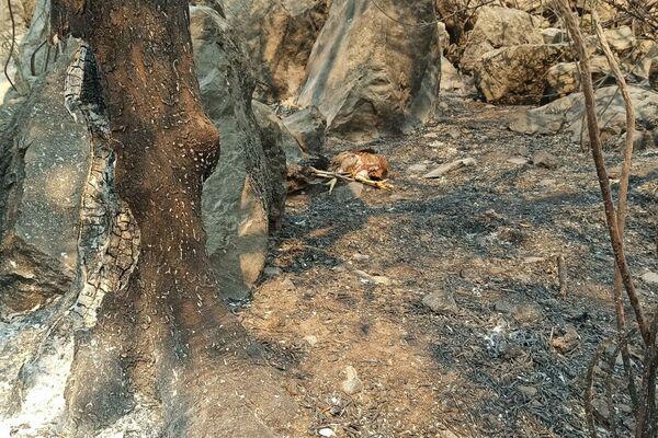 Dramatyczne obrazy spalonych zwierząt w Turcji - Sputnik Polska
