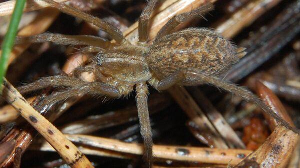 Воронковый паук Eratigena agrestis - Sputnik Polska