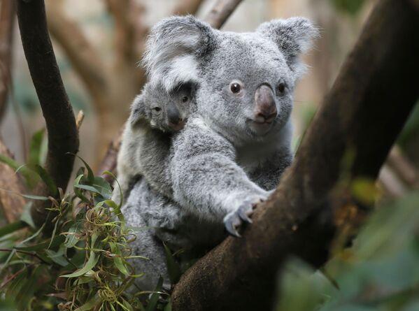 Australijskie władze w tajemnicy zabijały koale - Sputnik Polska
