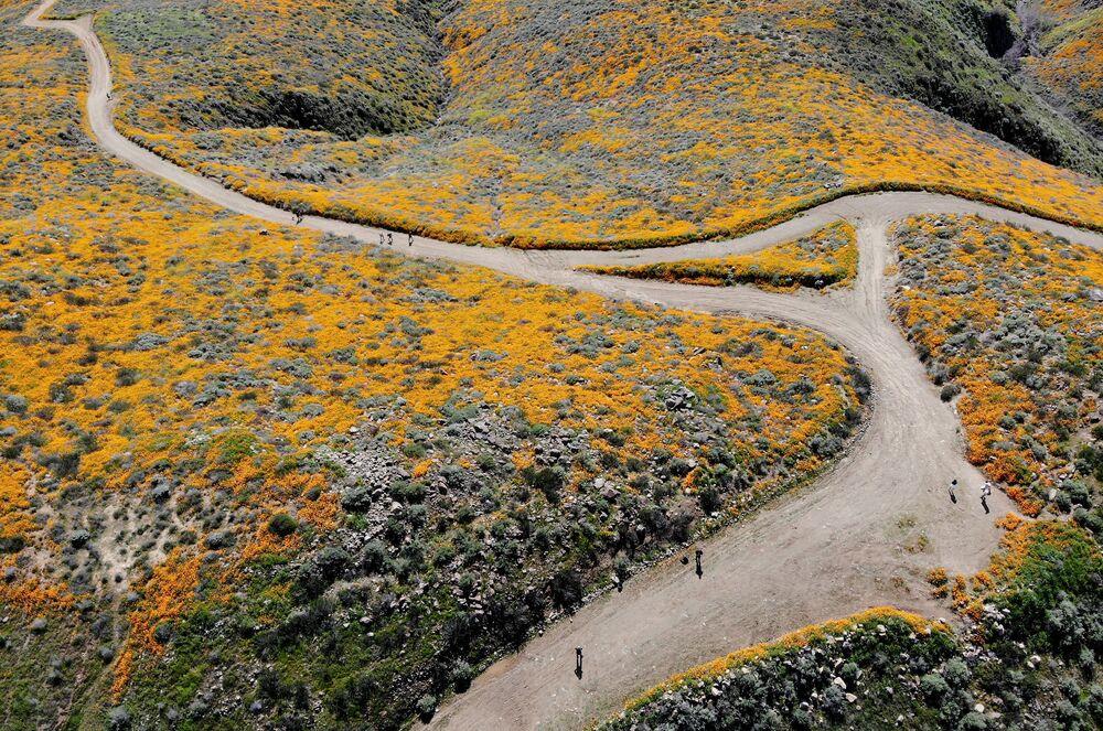 Kwitnące maki polne w Kalifornii