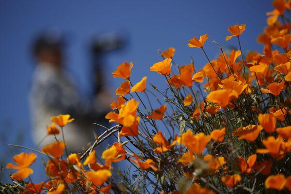 Kwitnące maki polne w Kalifornii - Sputnik Polska