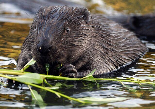 Bóbr pływa w rzece Chimce