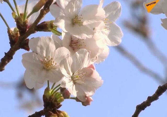 Sezon kwitnących wiśni w Tokio