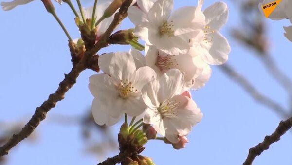 Sezon kwitnących wiśni w Tokio - Sputnik Polska