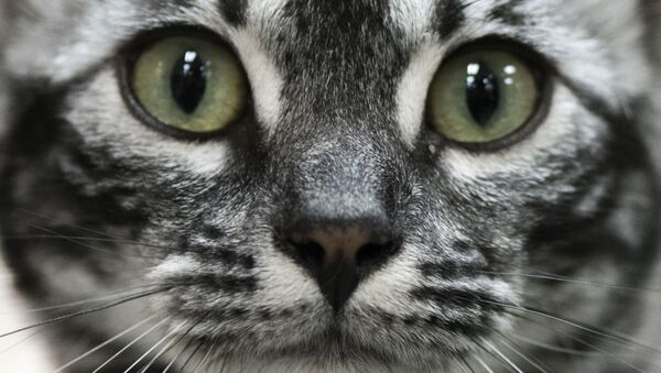 Kot na Międzynarodowej Wystawie Kotów Rasowych Feline - Sputnik Polska