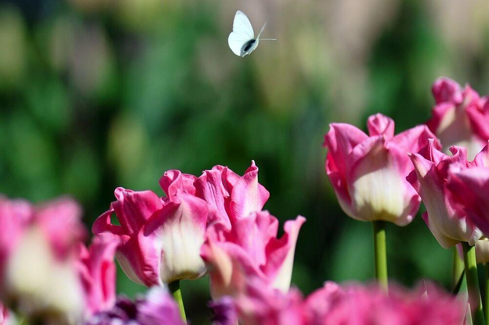 Tulipany w Nikitskim Ogrodzie Botanicznym na Krymie