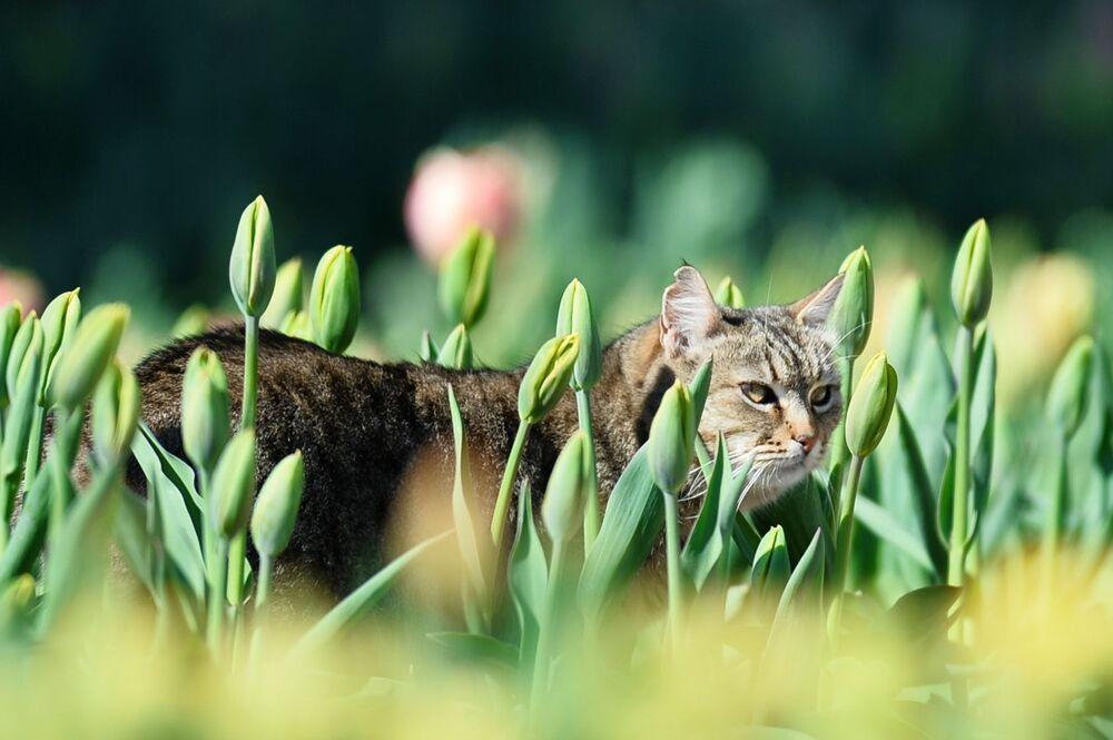 Kot między grządkami tulipanów w Nikitskim Ogrodzie Botanicznym na Krymie