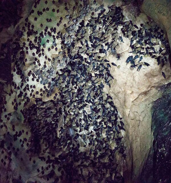Nietoperze w jaskini Gomantong w Malezji  - Sputnik Polska