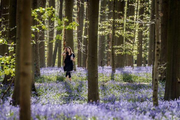 Hiacyntowiec podczas kwitnienia w belgijskim lesie - Sputnik Polska