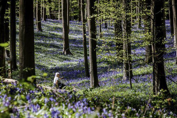 Hiacyntowiec podczas kwitnienia w belgijskim lesie Hallerbos  - Sputnik Polska