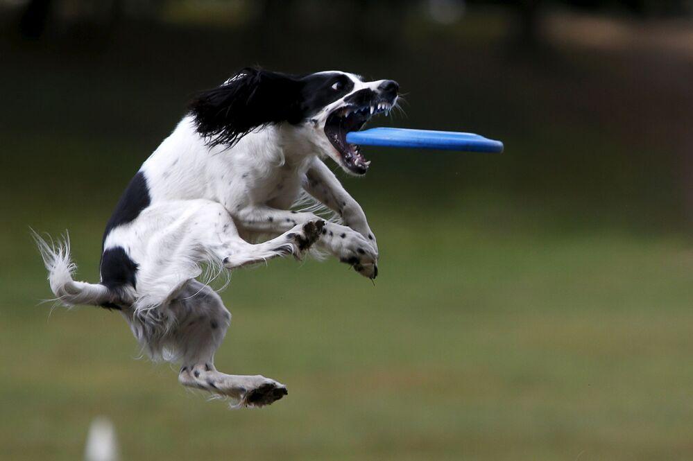 Pies podczas meczu Frisbee w Moskwie