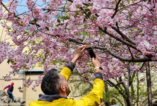 Kwitnące wiśnie w Petersburgu  - Sputnik Polska
