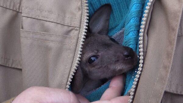 Mama dla kangura - Sputnik Polska