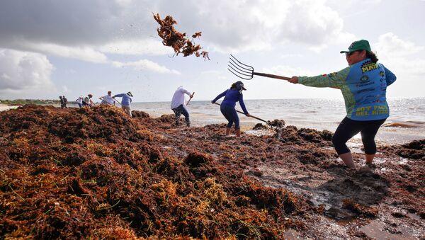 Wolontariusze oczyszczają plaże z wodorostów - Sputnik Polska