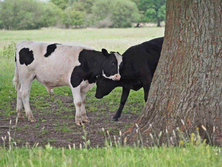 Dzikie krowy z Deszczna