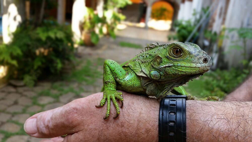 Hotel z iguanami w Meksyku