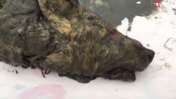 Znaleziona odrąbana głowa wilka w Jakucji - Sputnik Polska