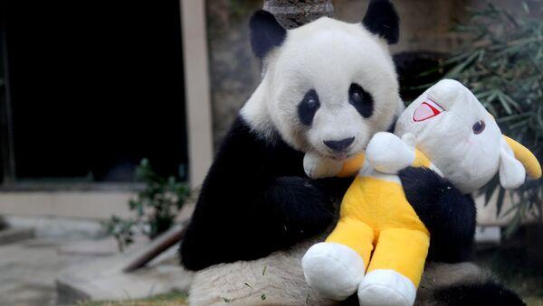 Gigantyczna panda Pan Pan holds w zoo w Fuzhou. Chiny, prowincja Fujian. 12 listopada 2010 - Sputnik Polska