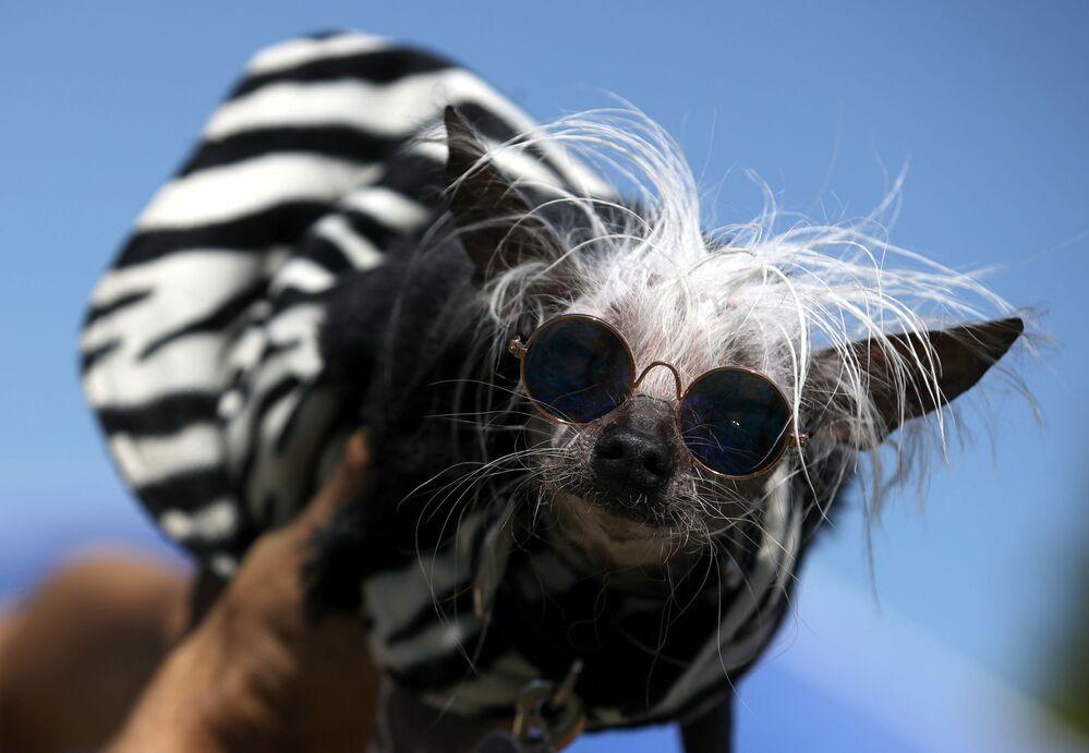 Grzywacz chiński o imeniu Rascal Deux bierze udział w konkursie Najbrzydszy pies roku 2019