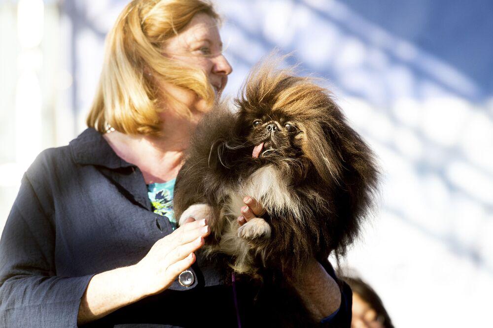 Pekińczyk o imieniu Wild Thang uczestniczy w konkursie Najbrzydszy pies świata 2019