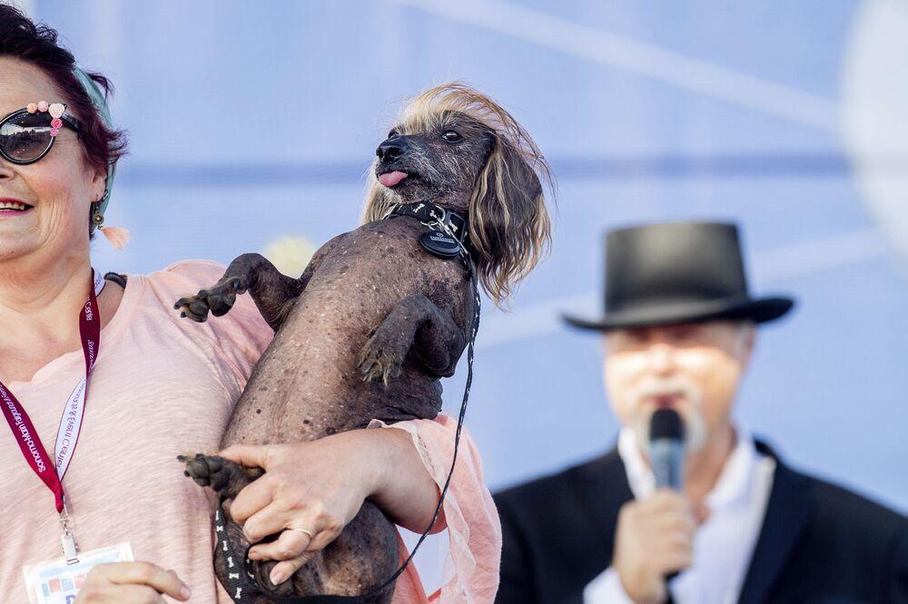 Piesiek o imieniu Himisaboo uczestniczy w konkursie Najbrzydszy pies świata 2019