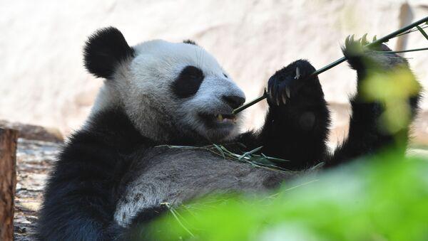 """Panda wielka, przekazana przez Chiny do Ogrodu Zoologicznego w Moskwie, w pawilonie """"Fauna Chin"""" - Sputnik Polska"""