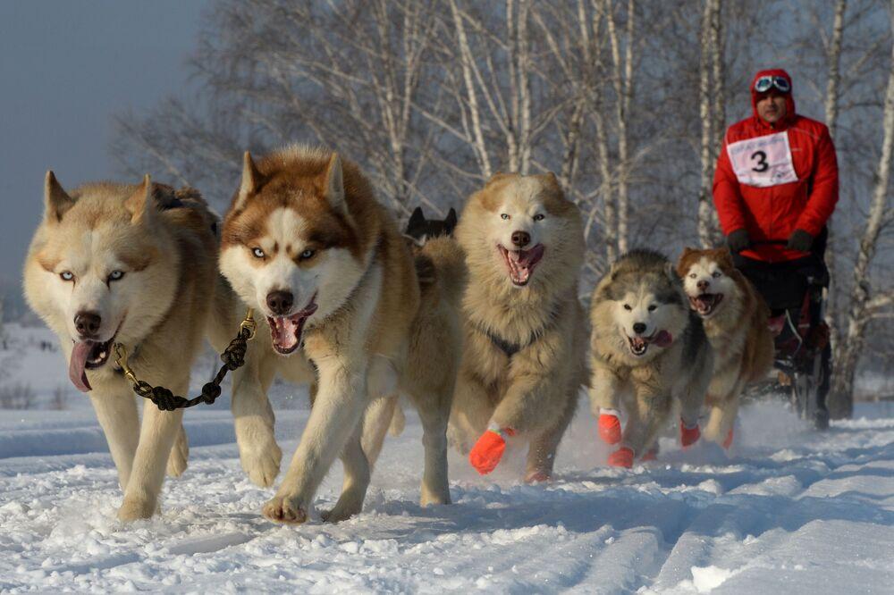 Psi zaprzęg na Syberii